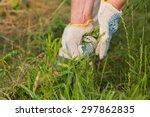 gardening  weeding weeds.... | Shutterstock . vector #297862835