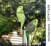 Two Parakeets In A Cage ...
