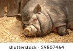 Vietnamese Pot Bellied Pig. Su...