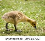 A New Born Canada Goose Goslin...
