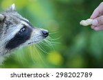 Raccoons  Procyon Lotor  Are...