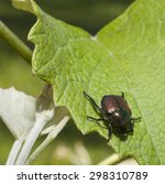 Large Japanese Beetle Ready To...
