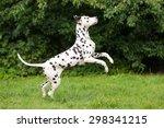 Happy Dalmatian Dog Jumps Up