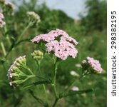 Small photo of very rare pink Achillea millefolium usually there this plant in white