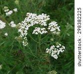 Small photo of Achillea millefolium, in white, this herb blooms in summer