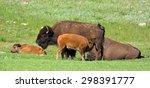 Nursing  Bison Calf  In...