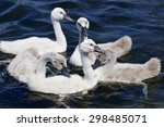 Five Young Mute Swans Are...