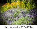 lavender field | Shutterstock . vector #29849746