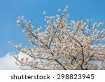 cherry blossom in korea | Shutterstock . vector #298823945