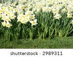 dense batch of white daffodils... | Shutterstock . vector #2989311