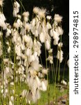 """Small photo of """"Common Cottongrass"""" plant (or Common Cottonsedge, Bog Cotton) in Innsbruck, Austria. Its scientific name is Eriophorum Angustifolium, native to North America, Asia, Europe. (See my other plants)"""