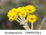 Small photo of Beautiful yellow flowers of Espeletia found in the venezuelan Andes