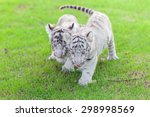 White Tiger Cub And Two Walks...