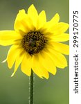 single sunflower hosting a... | Shutterstock . vector #299170775