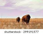 Buffalo Graze On A Golden Field
