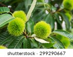 Chestnut  Castanea Fruits