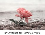 lonely rose flower at the stony ... | Shutterstock . vector #299337491