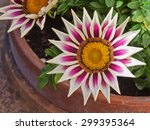 Potted Gazania  Of The Variety...