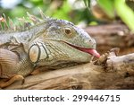 Giant Green Iguana Close Up...