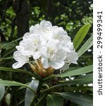 Blooming White Rhododendron In...