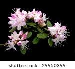 pink dwarf rhododendron | Shutterstock . vector #29950399