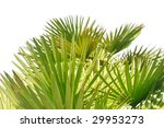 Palm Tree Leaves Isolated On...