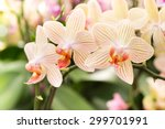 Streaked Orchid Flowers....