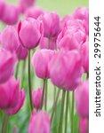 Pink Tulips On A Filed Close U...