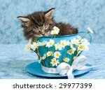 Stock photo sleeping maine coon kitten sitting inside large cup decorated with daisies flowers 29977399