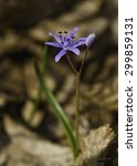 Small photo of two leaf squill in looking for morning sun in the forest. Scilla bifolia (alpine squill)