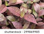 Small photo of Joseph's coat's colorful leaves(Alternanthera dentata 'Rainbow')