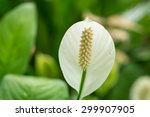 White Flower Of A Peace Lily ...