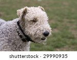 Wire Haired Fox Terrier Head - stock photo