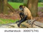 Spider Monkey  Ateles Geoffroy...