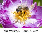 Bee Pollinating Wild Pink Rose...