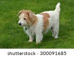 Norfolk Terrier   Full Body ...