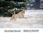 Running Eurasian Lynx Cub On...