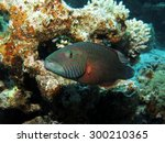 Small photo of Bandcheek wrasse (labridae) over coral