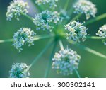 Close Up Of Wild Carrot Flower. ...