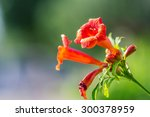 Beautiful Flower Campsis In...