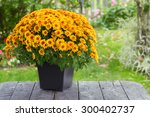A Fall Potted Chrysanthemum I...