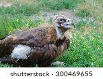 vulture sitting on a grass | Shutterstock . vector #300469655