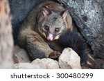 Common Brushtail Possum ...