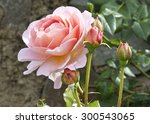 Stock photo bush pink tea rose with buds in the garden 300543065