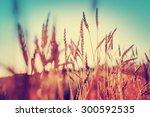 Beautiful Yellow Wheat Field I...