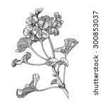Sprig Of Blooming Geranium ...