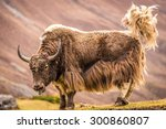Powerful Yak At The Mountain I...