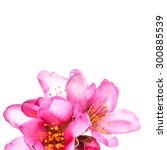 Small photo of almond blossoms. almond tree pink flowers close-up isolated on white background.