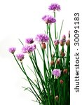 chive with flowers | Shutterstock . vector #30091183