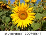 yellow sunflower bloom in the... | Shutterstock . vector #300945647
